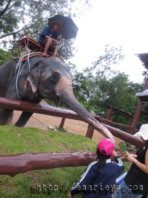 kakak bagi gajah makan